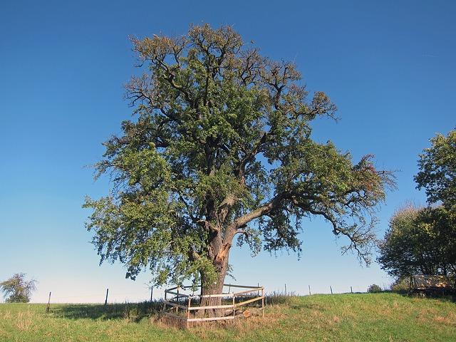 birnbaum im garten pflanzen das m ssen sie beachten. Black Bedroom Furniture Sets. Home Design Ideas