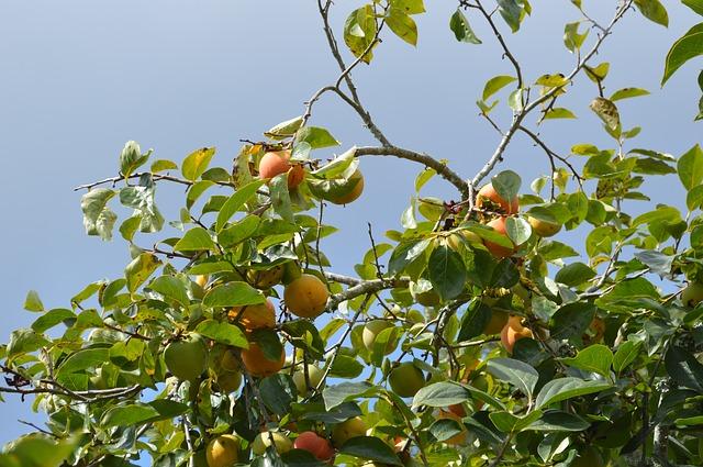 Wissenwertes ber den pfirsich anbau im garten und pflegetipps - Pfirsichbaum im garten ...
